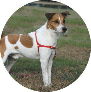 Easy_Walk_terrier_circle easy walk� harness front lead dog harness at couponss.co
