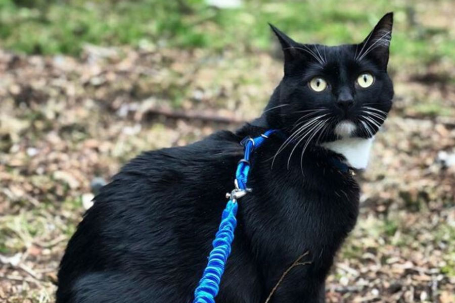 cat with harness and leash
