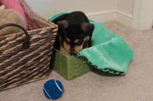Luna explores the toy box and eyes up a tennis ball!