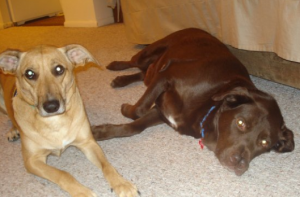 It didn't take long to train this chocolate lab mix, Joey, to be polite with other dogs.