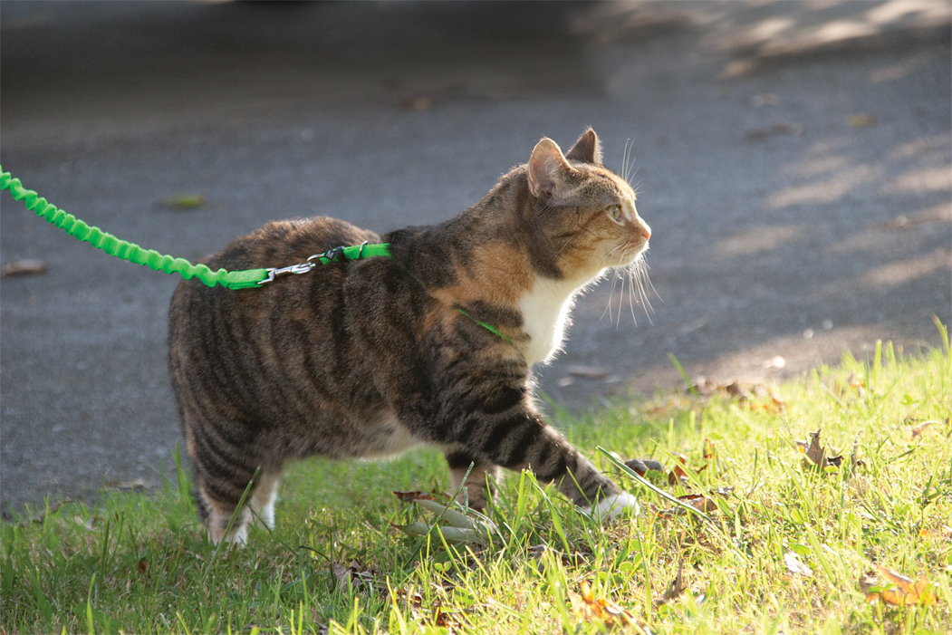 fat cat on harness