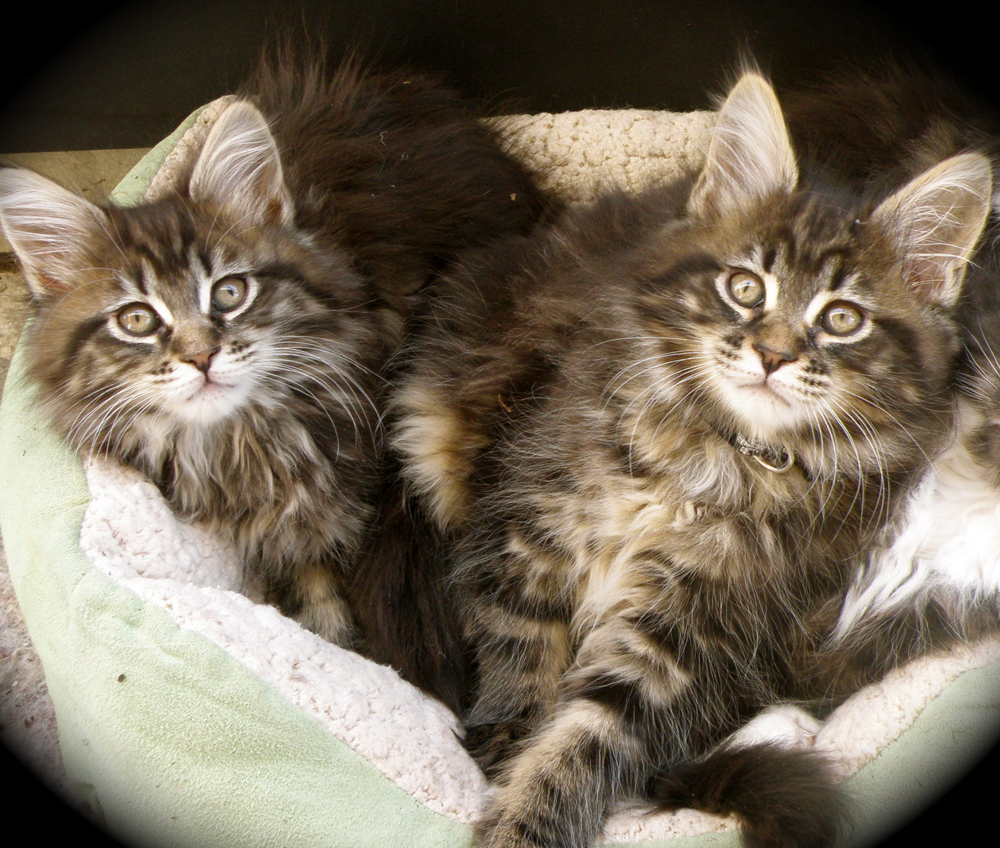 maine coon twin kittens
