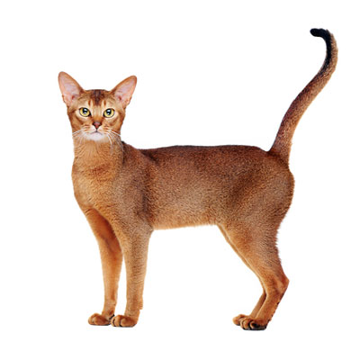Breed All About It: Siamese and Abyssinian