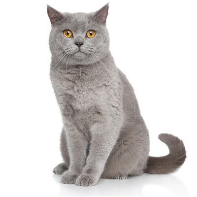 british shorthair breed