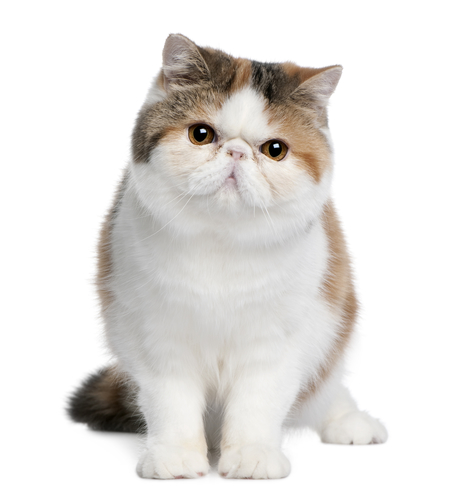 Breed All About It: British & Exotic Shorthair | PetSafe ...
