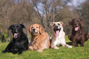 Outdoor close up capture of four mixed breed dogs on a grassy hill.