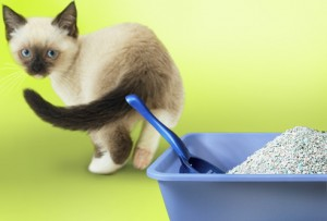 Kitties that are persnickety about their litter are smarter than we think
