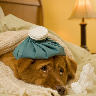 My Dog Needs a Spleen Removal Is That Bad PetSafe Articles