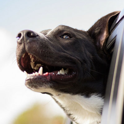 Tips for Traveling with a Dog That is Sight or Hearing Impaired