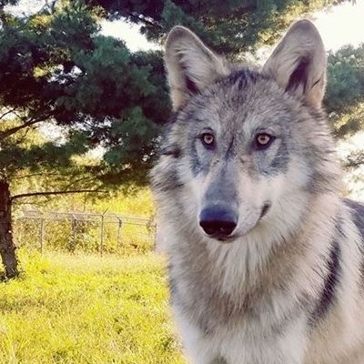 Training: What can we learn from wolves?